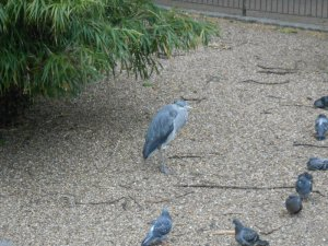 grey heron1