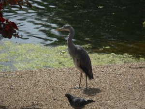 grey heron2