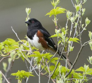 BlogEastern towhee male