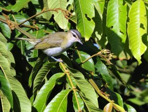 blogred eye vireo sanches
